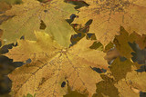 many yellow autumnal maple leaves poster