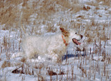 happy dog pet running hunting in snow tall grass poster