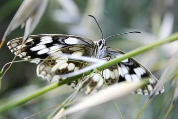 papillon 028