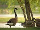 canadian geese near lake poster