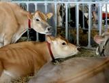 cows at county fair poster