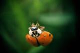 ladybug on dark background poster