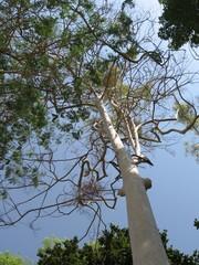 royal cuban palm tree
