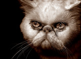 very angry persian cat poster