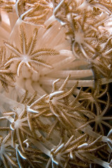 anemone, soft coral