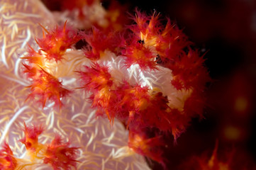 soft coral close-up indonesia sulawesi