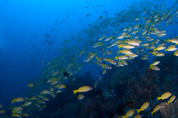 school of yellow snappers over reef. indonesia sulawesi lembehst
