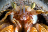 hermit crab. focus in the mouth