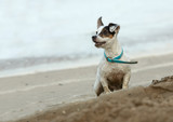 small dog on the beach poster