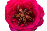 rose with star anise in centre poster