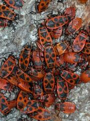 insectes (gendarmes) sur tronc d'arbre