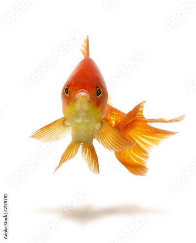 goldfish. gold fish
