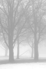 bare trees in winter fog