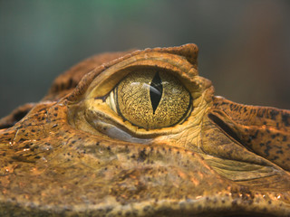 croco eye