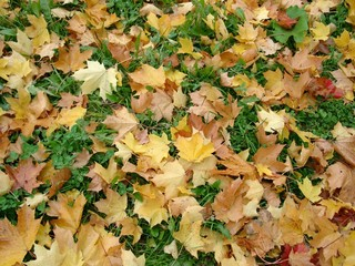 fallen maple leaves.