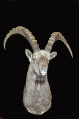 ibex mount on black