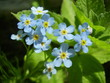 a blossoming plant a forget-me-not