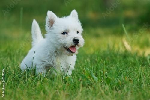 Fototapeta zbliżenie - pies - Zwierzę domowe