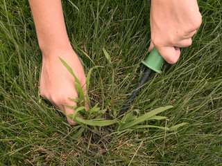 removing crabgrass