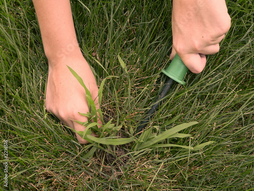 removing crabgrass - 2216516