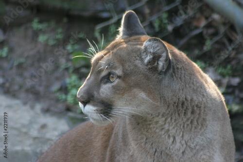 Foto op Aluminium Puma puma