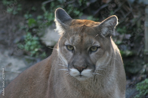 Aluminium Puma mountain lion