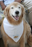 best dog wedding pet bandana golden retriever poster