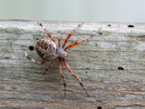 spider on wood