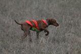vizsla dog hunt sport puppy pet point poster