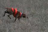 hungarian vizsla hunt dog pet hunting upland bird poster