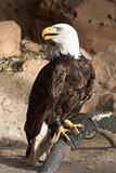 captive eagle poster