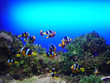 roleta: anemonenfische