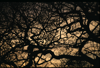 silhouette of mountain ash