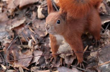 agressive squirrel
