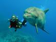 Leinwandbild Motiv delfin mit taucher 01