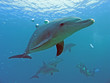 Leinwandbild Motiv delfin 06