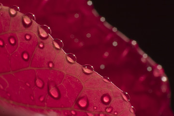 poinsettia leaf and dewdrops