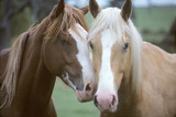 Fototapety two horses loving