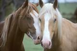 Fototapety two horses loving