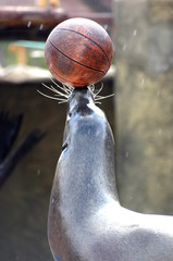 foca con pelota