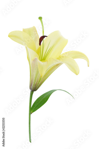 yellow lily (with clipping path)