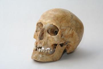 homosapiens cranium
