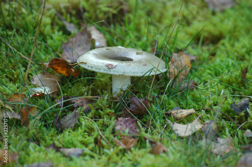 tacky green russula (russula aeruginea)