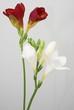 freesienblüte
