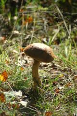 boletus edulis, woodland,