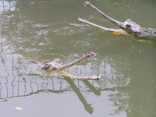 two gharials