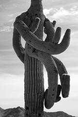 crazy saguaro cactus