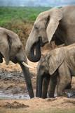elephants d'afrique du sud poster