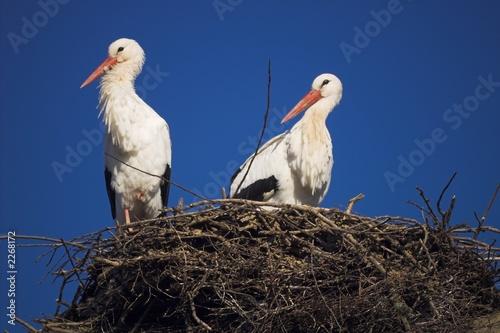 storchenpaar in seinem nest
