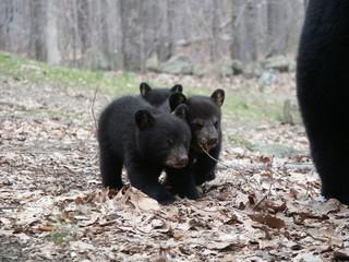 mama bear and three cubs